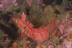 Kelpfish