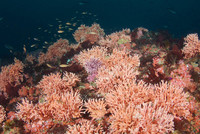 Hydrocoral and Juvenile Rockfish