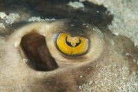 Stingray Eye Urobatis concentricus