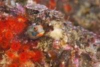 Barnacle Blenny Acanthemblemaria macrospilus