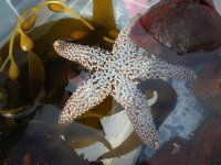 Ochre star on kelp