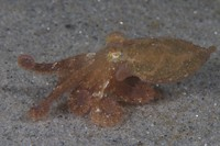 Octopus rubescens