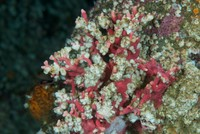 Barnacles Smothering Hydrocoral