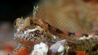 Scalyhead Sculpin
