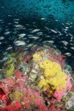 Yellow Sulphur Sponge at Northern West Ridge