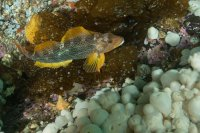 Female Kelp Greenling