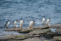 Gentoo Penguins returning from the sea.