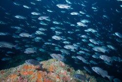 Blue Rockfish at Mt Chamberlin