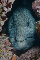 Scratchy the Wolf Eel