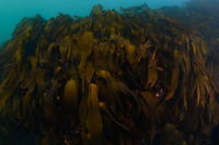 Kelp in the Shallows